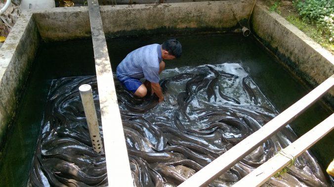 Prospek Bisnis Budidaya Ikan Lele